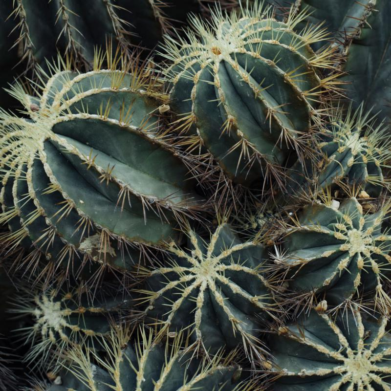 The heads of green cactus plants